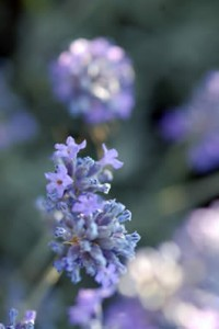 Up close with lavender
