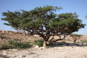 frankincense tree in Oman