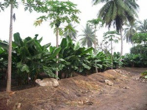 Bananas, papaya, lemons, and coconuts grow on the Young Living Oman farm