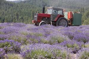 Gary's hybrid Massey-Ferguson tractor harvesting lavender on the St. Maries, Idaho, farm