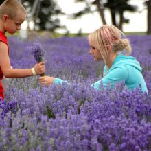 Lavandula angustifolia at Young Living's lavender farm in Mona, UT.