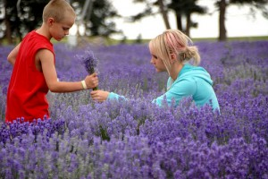 boy and girl picking Lavender