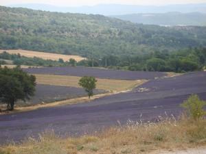 lavender farm in Provence, France