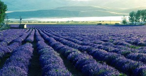 Young Living lavender fields in Mona, UT