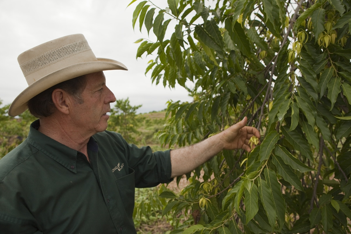 Gary Young touches the blossoms on a ylang ylang tree.