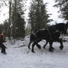 Gary Young skidding logs with Belgium horses
