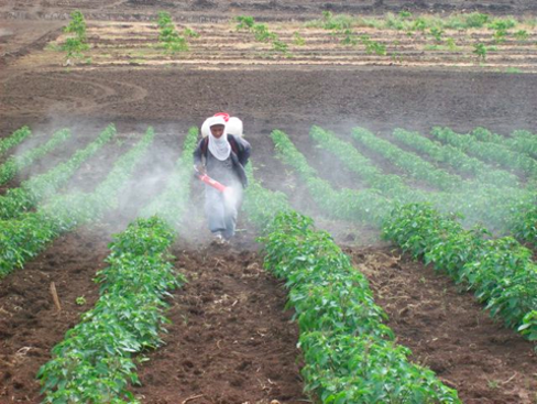 An Ecuadorian worker is hand spraying one of the basil fields with Gary's special essential oil mixture to kill white flies.