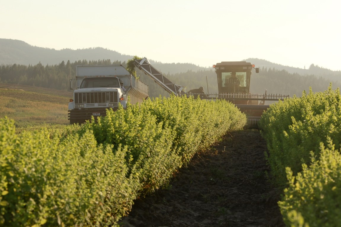 Harvest time for the melissa crop grown at the Young Living St. Maries, Idaho, farm. After harvest it will be shade-dried for up to 12 hours before distillation.