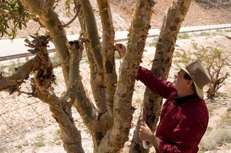 Gary is shown preparing to make the cut in the bark of this Boswellia sacra frankincense tree in Oman, which will start the resin flowing. The resin collected from these trees is distilled in Salalah, Oman, and becomes Young Living's exquisite Sacred Frankincense essential oil.