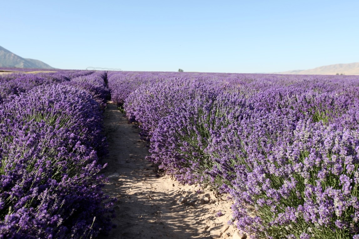 True non-hybrid lavender has varying colors as the YL lavender fields at Mona, Utah, clearly show.
