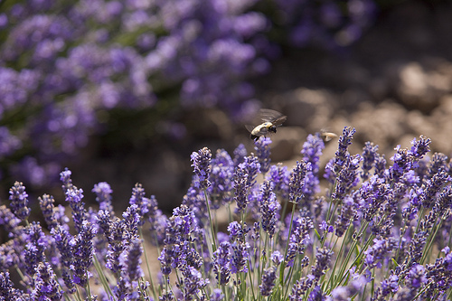 Bees visit the lavender blossoms at Young Living's Mona, Utah, lavender farm.
