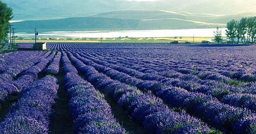 Young Living lavender farm in Mona, UT