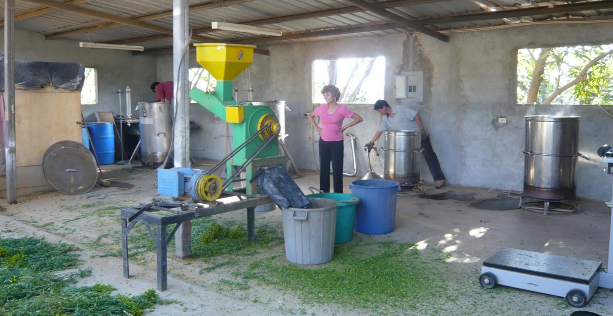 Mary Young in 2006 watching the chipping of ruta for distillation at the Young Living farm in Chongon, Ecuador.