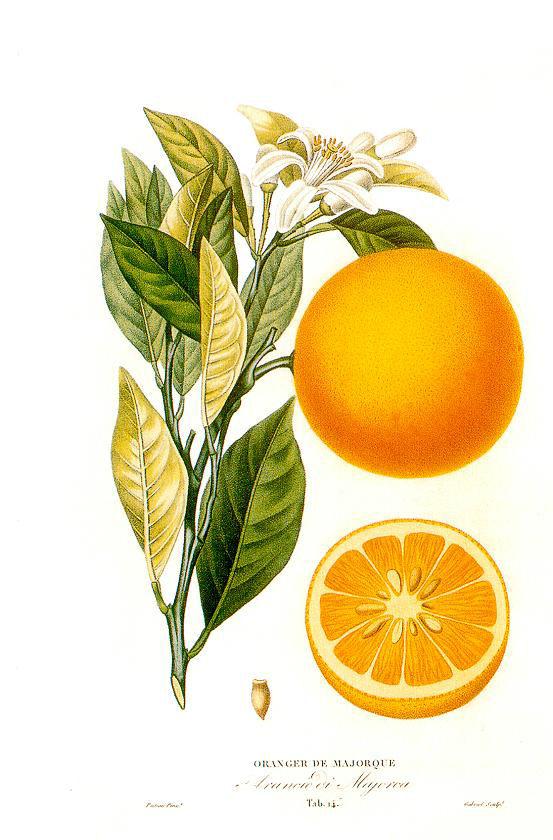 Histoire_et_culture_des_orangers_A._Risso_et_A._Poiteau._--_Paris_Henri_Plon,_Editeur,_1872 wiki commons
