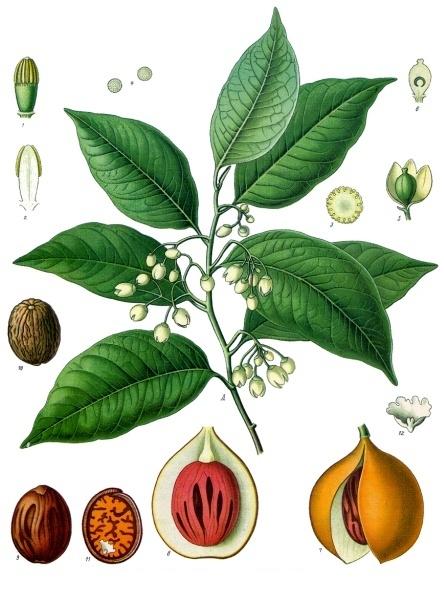 Myristica_fragrans_-_Köhler–s_Medizinal-Pflanzen-097