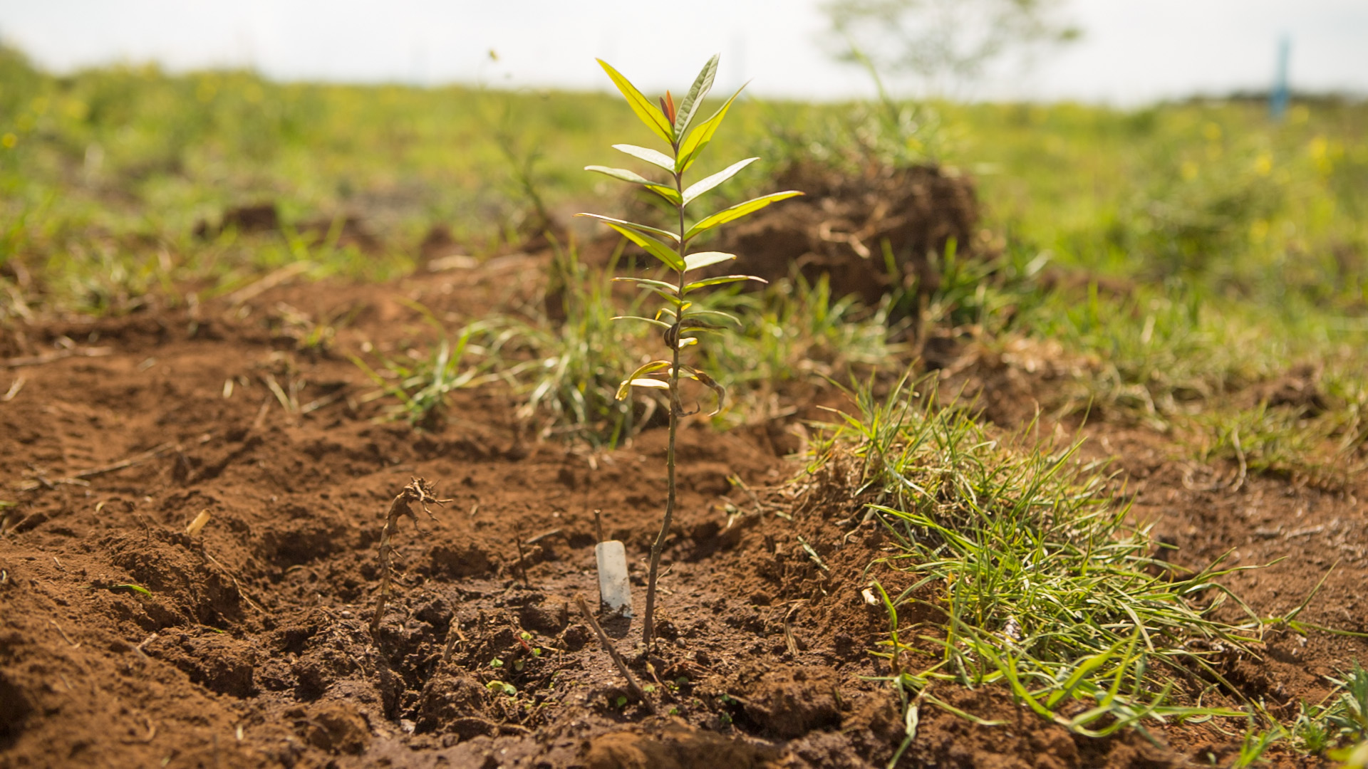 Sandalwood seedling
