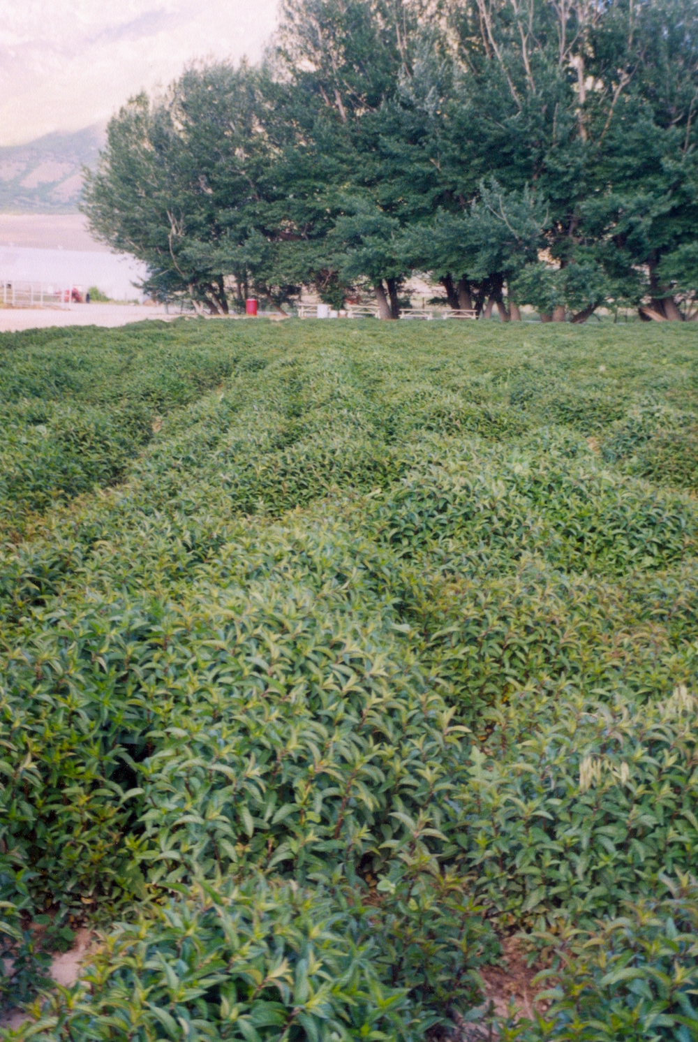 Peppermint at the Young Living Mona Farm.