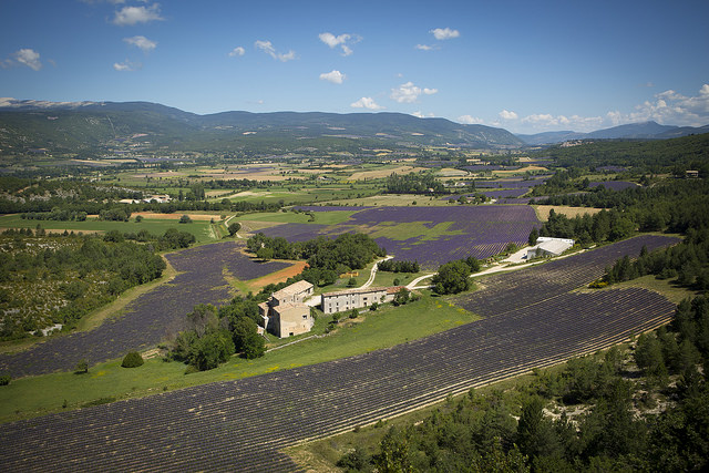 The Young Living Lavender Farm in the Simiane Valley in Provence, France, is the largest true lavender farm in the world!