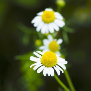 two German Chamomile plants